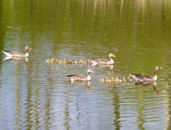 Grauwe ganzen met jongen in het water, de ouderdieren beschermend voor- en achteraan